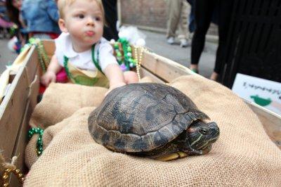 Hollandaise the turtle